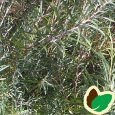 Rosmarinpil 50-80 cm. - Bundt Med 10 Stk. Barrodsplanter - Salix repens var Rosmarinifolia - ¤