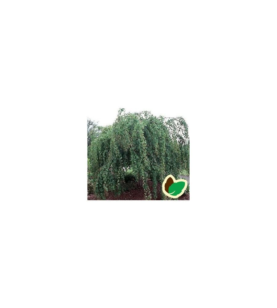 Cercidiphyllum japonicum Pendulum - Hængende Hjertetræ / 150 cm. stamme med krone.