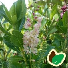 Clethra alnifolia Rosea / Konvalbusk