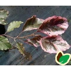 Fagus sylvatica Tricolor - Broget Bøg / 80-100 cm.