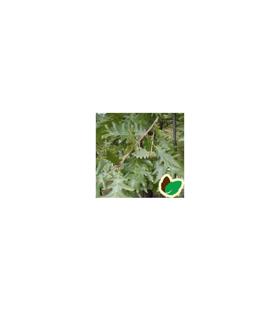 Quercus frainetto / Ungarsk Eg
