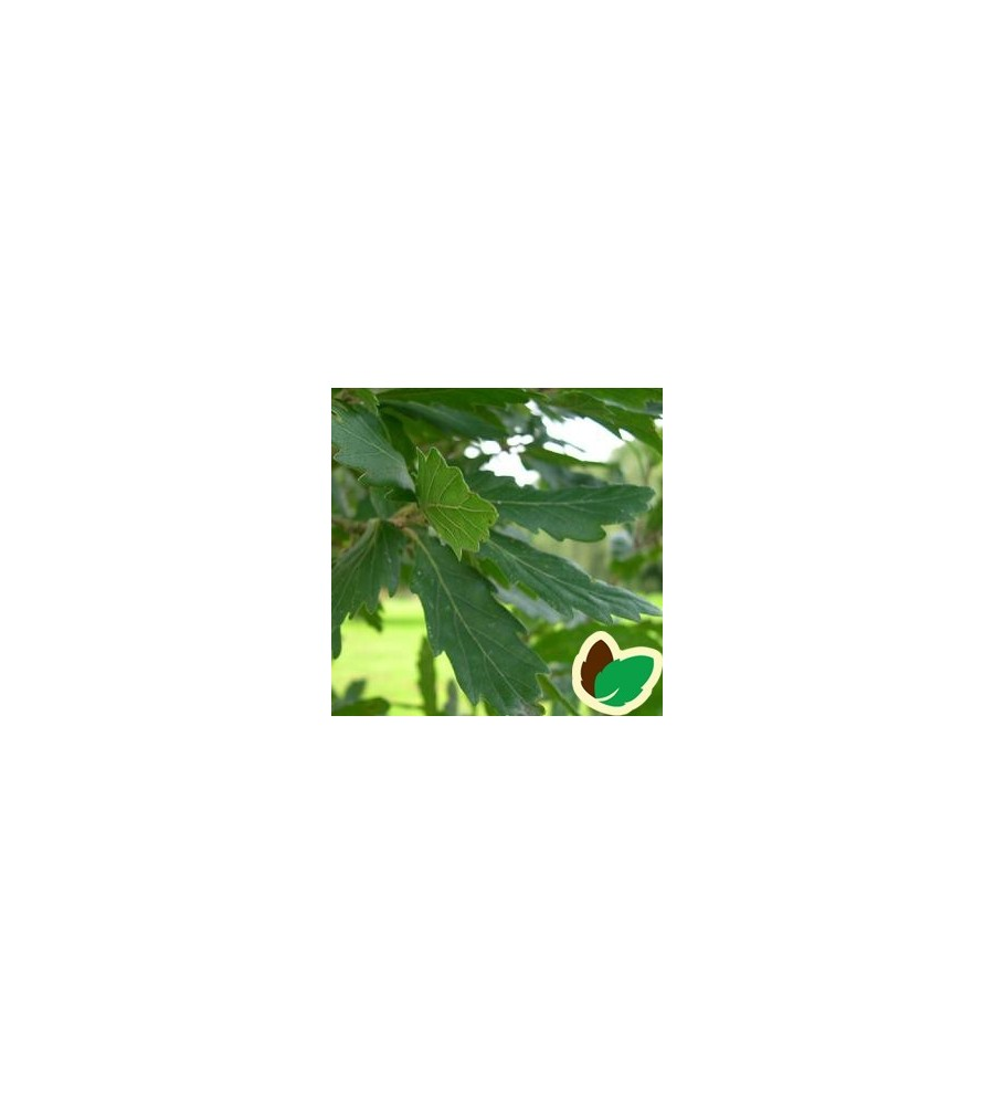 Quercus turneri Pseudoturneri