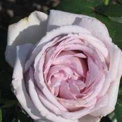 Rose Bering Renaissance - Renaissancerose