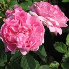 Rose Brother Cadfael / Engelsk Rose