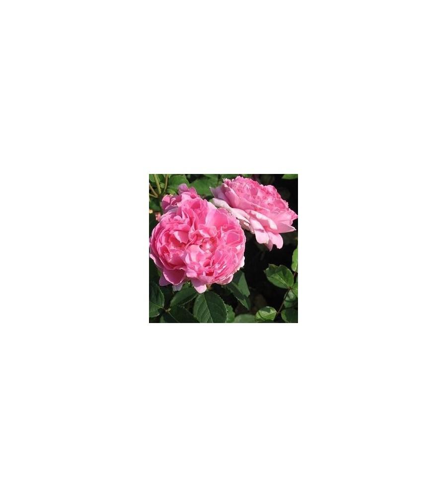 Rose Brother Cadfael / Engelsk Rose