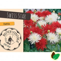 Dahlia Mix Swiss Star - Georgin - 2 stk
