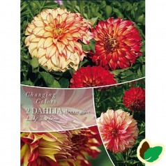 Dahlia Changing Colors Lady Darlene - Georgin - 2 stk.