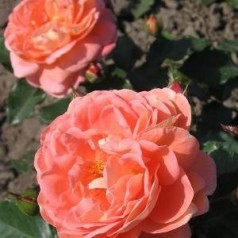 Rose Bonita Reanissance / Reanissancerose