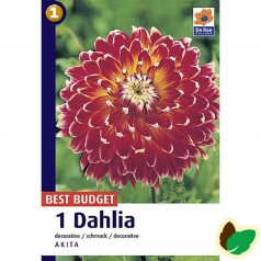 Dahlia Decorative Akita / Georgin