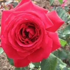Rose Isabella Rossellini / Storblomstret Rose