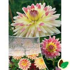 Dahlia Changing Colors Tropical Sunset - Georgin - 2 stk.