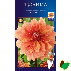 Dahlia Decorative Mango Madness - Georgin