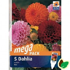 Dahlia Megapack Pompon Mix - Georgin - 5 stk.