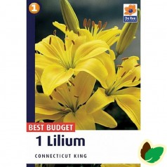 Asiatisk Lilje - Lilium Connecticut King
