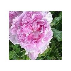 Rose Martin Froebischer / Busk Rose