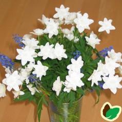 Anemone nemorosa Bracteata Plena - Skovanemone
