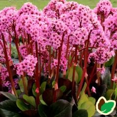 Bergenia hybrid Spring Fling - Kæmpestenbræk