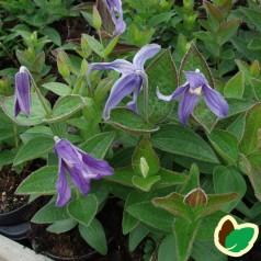 Clematis integrifolia - Staudeklematis