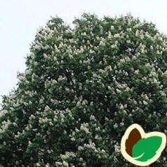 Hestekastanje 175-200 cm. - Aesculus hippocastanum