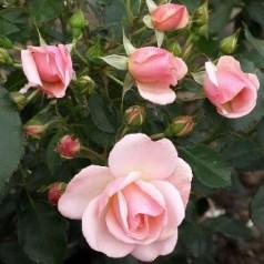 Rose Rosenborg / Slotsrose