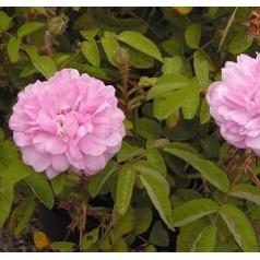 Rose Salet / Buskrose