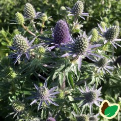 Eryngium planum Blue Hobbit / Russisk Mandstro