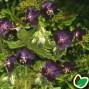 Geranium phaeum Raven - Storkenæb