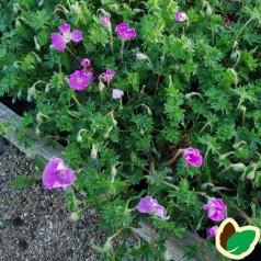Geranium sanguineum - Storkenæb