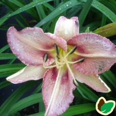 Hemerocallis hybrid Purple Bicolor - Daglilje