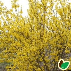 Forsythia intermedia Weekend - Forsytia - Vårguld