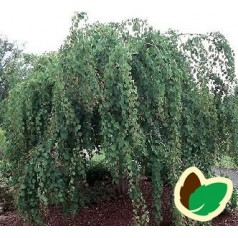 Cercidiphyllum japonicum Pendulum - Hængende Hjertetræ / 120 cm. stamme med krone.
