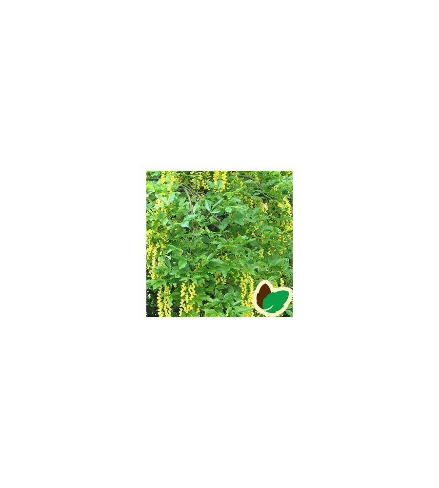 Laburnum alpinum Pendula - Hænge Guldregn / 180 cm. stamme.