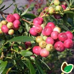 Blåbær Pink Lemonade