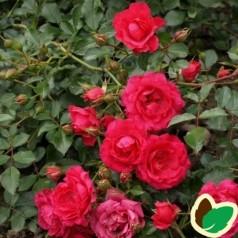 Rose Viking / Bunddækkende rose