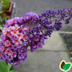 Buddleia davidii Flower Power