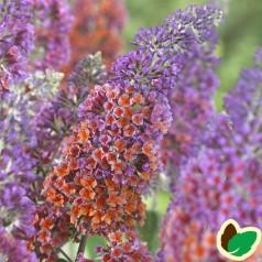 Buddleia davidii Flower Power