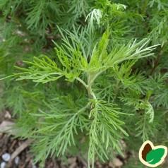 Artemisia Abrotanum 'Cola'