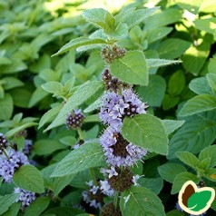 Mentha arv. 'Strawberry Mint'