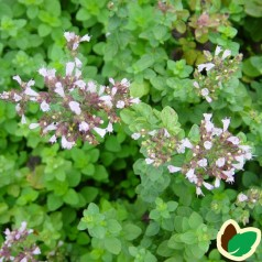Oregano Hot & Spicy - Origanum vulgare Hot & Spicy