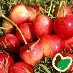 Kirsebærtræ Büttners Rote