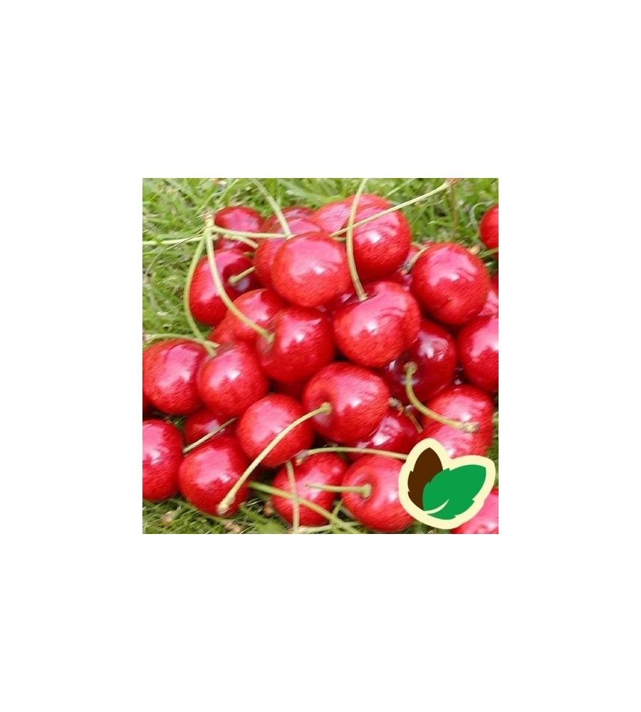 Kirsebærtræ Hedelfinger