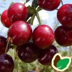 Kirsebærtræ Kelleriis 16