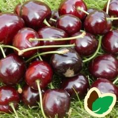 Kirsebærtræ Lapins