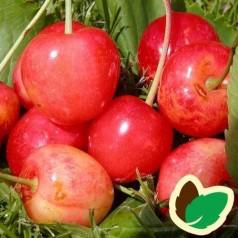 Kirsebærtræ Merton Glory