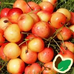 Kirsebærtræ Merton Late