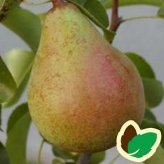 Pæretræ Carola