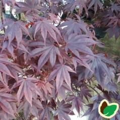 Acer palmatum Bloodgood / Japansk Løn / Japansk Ahorn