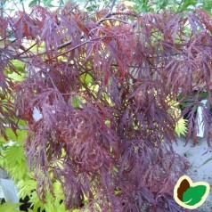 Acer Palmatum Dissectum Crimson Queen / Japansk Løn / Japansk Ahorn