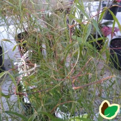 Acer palmatum Koto no ito / Japansk Ahorn / Japansk Løn