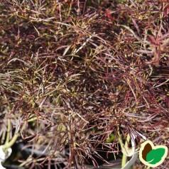 Acer Palmatum Red Pygmy / Japansk Løn / Japansk Ahorn